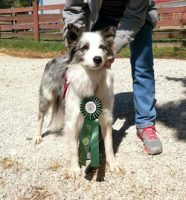 Border Collie Puppies For Sale in Virginia - Border Collie Breeders