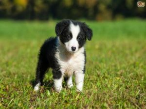 Border Collie Temperament