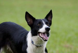 The Short Haired Border Collie